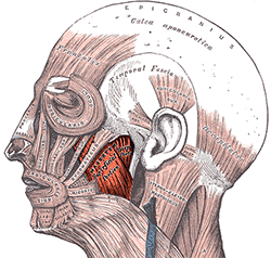 jaw-muscles-learn.png